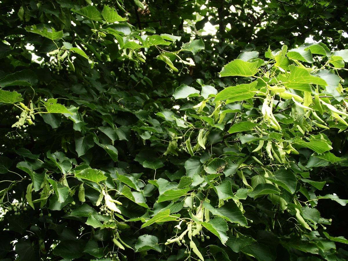 Basswood/American Linden Fruit