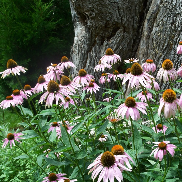 Purple Coneflower in front of Ash stump with Eastern Red Cedar (Juniperus virginiana)