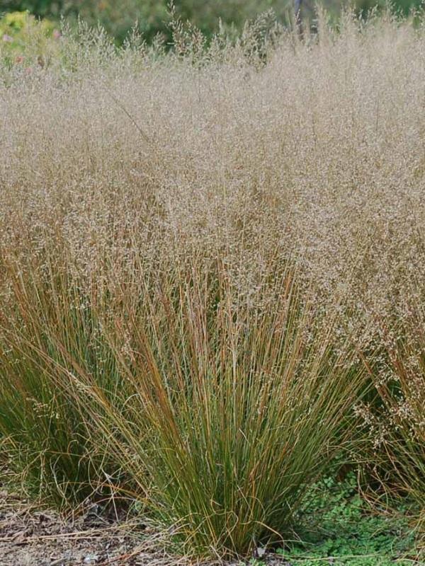 'Tara' Prairie Dropseed Sporobolus heterolepis 'tara' (Credit: Hoffman Nursery)