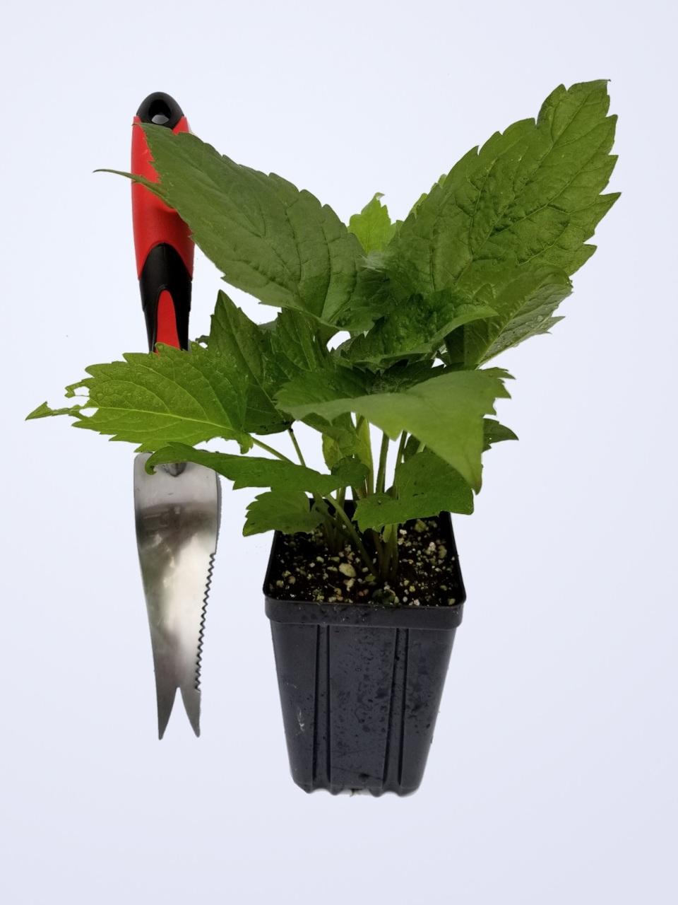 Aster divaricatus - White Wood Aster - Shovel shown for size comparison Quart Pot by GreenTec Nursery