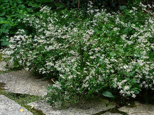 Aster divaricatus - White Wood Aster - Mature Plant Courtesy Knoll Gardens/UK