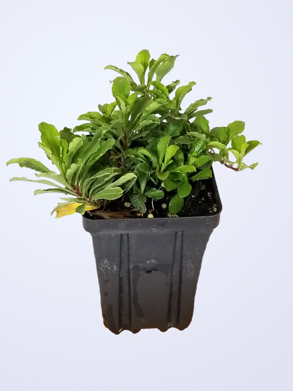 Phlox stolonifera 'Sherwood Purple' - Creeping Phlox 1-year old Quart Pot Potted Plant