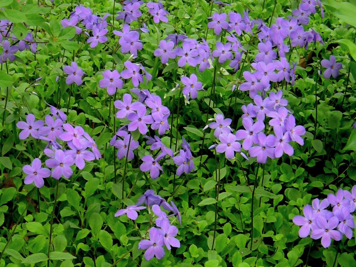 Phlox stolonifera 'Sherwood Purple' - Creeping Phlox in Bloom