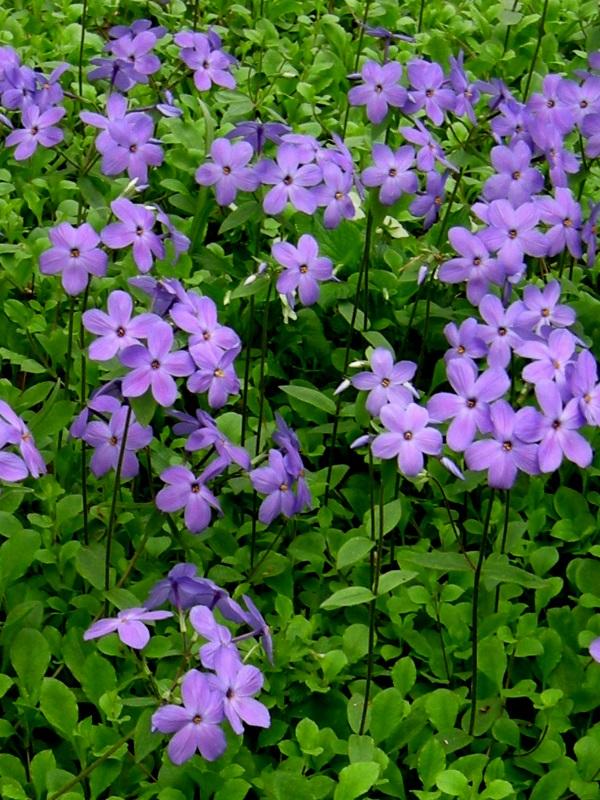Phlox stolonifera 'Sherwood Purple' by GreenTec Nursery