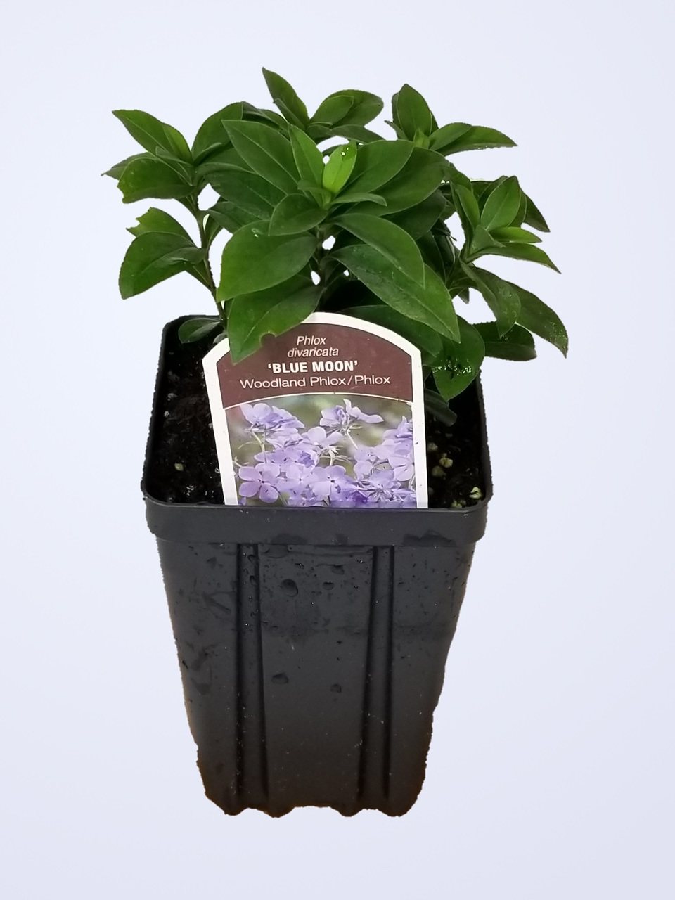 Phlox divaricata 'Blue Moon' - Woodland Phlox Quart Pot Potted Perennial Flower by GreenTec Nursery