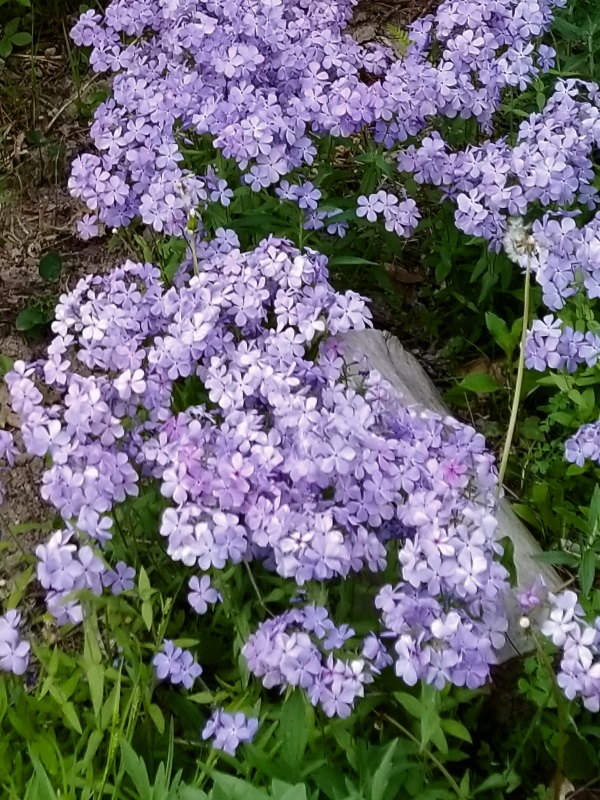 Phlox divaricata 'Blue Moon' in full bloom at GreenTec Nursery