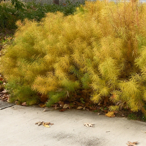 Threadleaf Bluestar (Amsonia hubrichtii) Fall Color