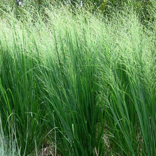Northwind Switchgrass (Panicum virgatum 'Northwind')