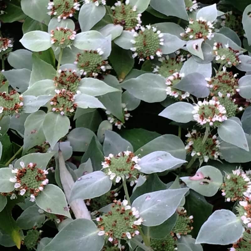 Pycnanthemum muticum (Short-Tooth Mountain Mint)