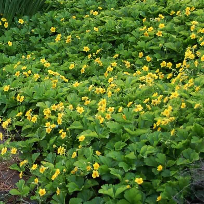 Appalachian Barren Strawberry (Waldsteinia fragarioides) makes an excellent semi-evergreen flowering groundcover in difficult shady sites.