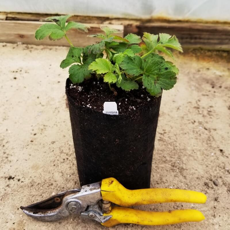 Waldsteinia fragarioides (Appalachian Barren Strawberry), shown in Quart Super Plug Pot (Bypass Pruners included to show size of pot)