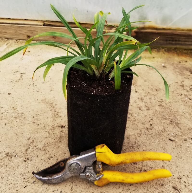 Carex flaccosperma (Blue Wood Sedge), shown in Quart Super Plug Pot Bypass Pruners included to show size.