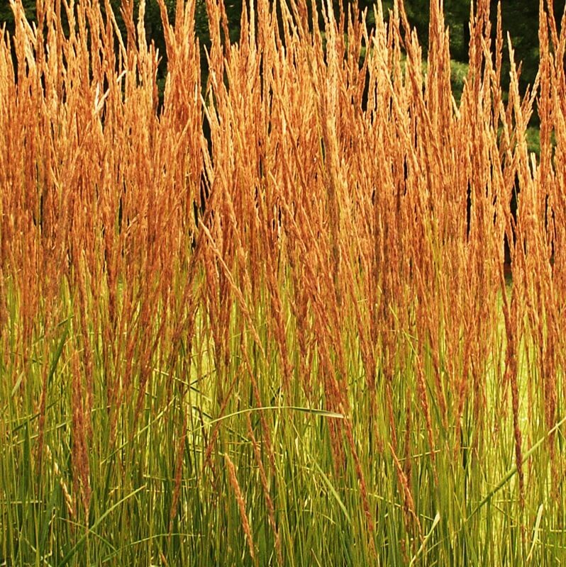 'Karl Foerster' Feather Reed Grass (Calamagrostis x acutiflora 'Karl Foerster') Excellent ornamental cool-season grass, grown and sold by GreenTec Nursery