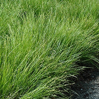 Carex radiata (Eastern Star Sedge) - Grown and Sold by GreenTec Nursery