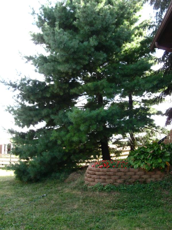 Mature White Pine in Landscape