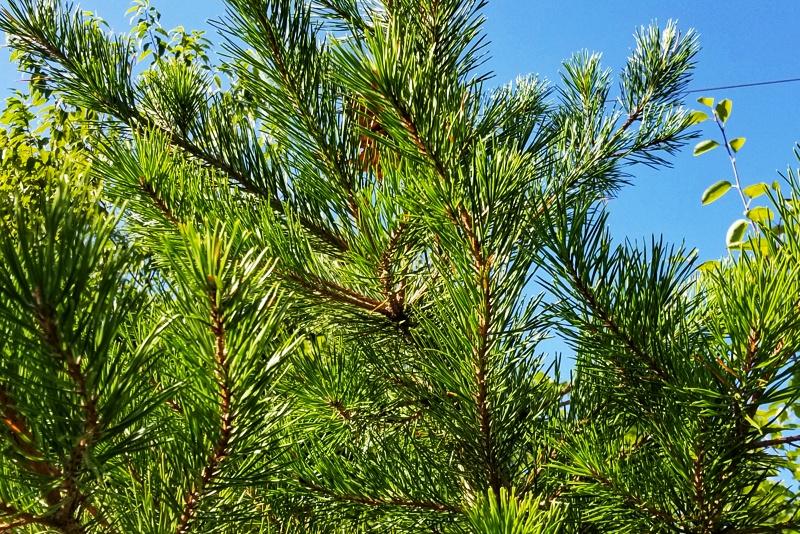 Table Mountain Pine