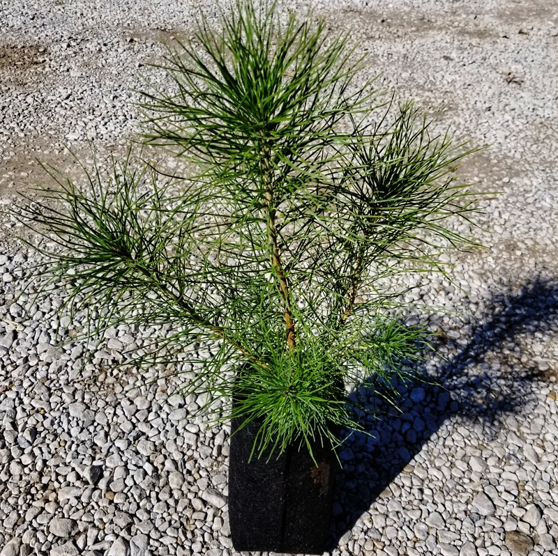 1-year old Table Mountain Pine Seedling Shown in Quart SuperPlug