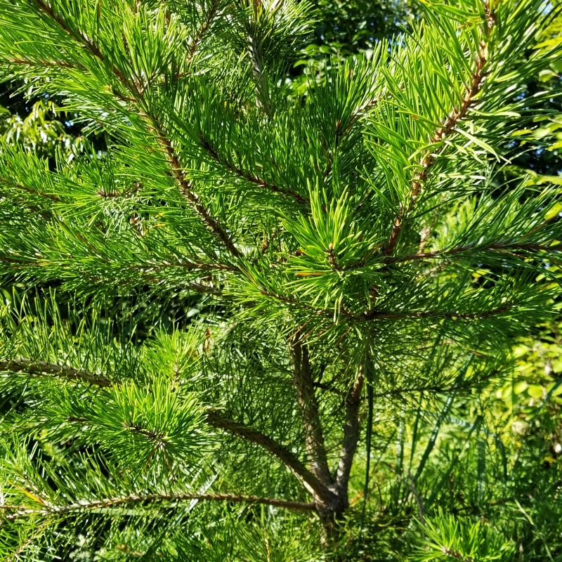 4-Year Old Table Mountain Pine at GreenTec Nursery