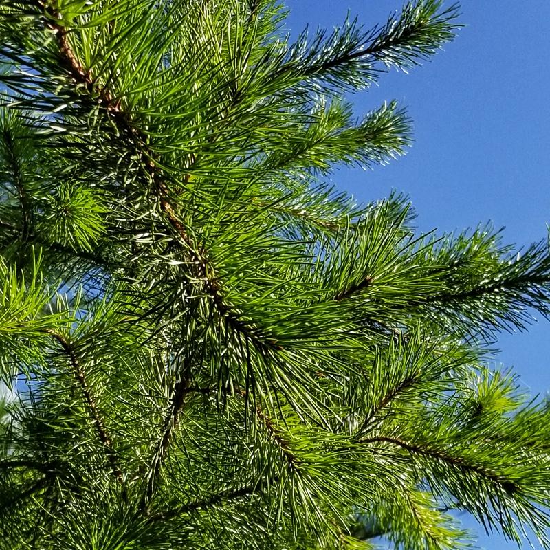 Pinus Pungens (Table Mountain Pine) - Qt Super Plugs