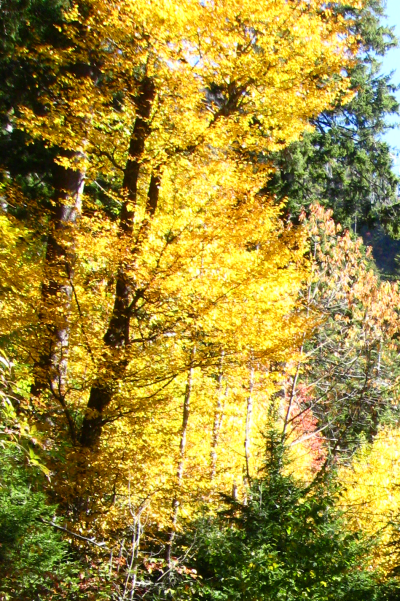 Yellow Birch (Betula alleghaniensis) in Autumn - Great Smoky Mountains NP