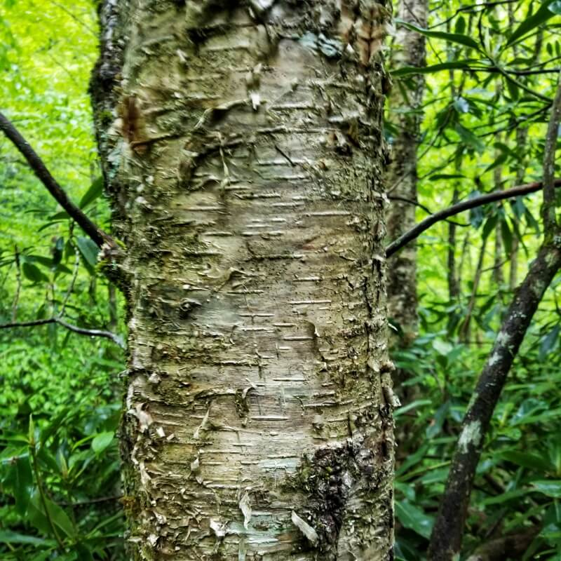 Yellow Birch (Betula alleghaniensis) trunk - Tree in Great Smoky Mountains National Park