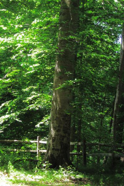 American Beech (Fagus Grandifolia) - Summer Form