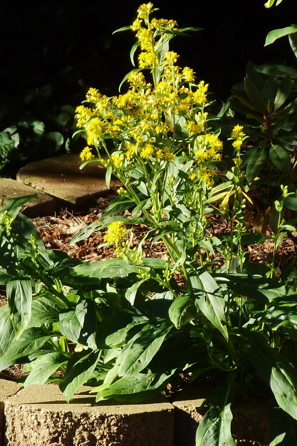 Clustered Goldenrod (Solidago glomerata) at GreenTec Nursery - Mid-August