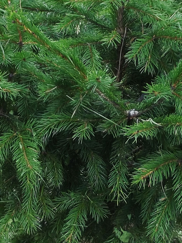 Closeup of twigs & needles on a red spruce planted at GreenTec Nursery in Indiana