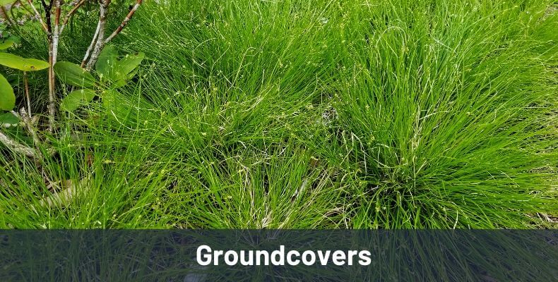 Groundcovers Link Image