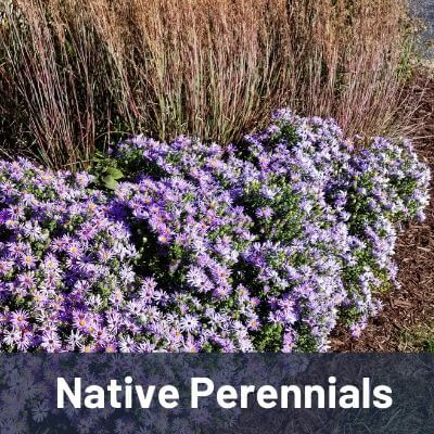 Native Perennials Link Image