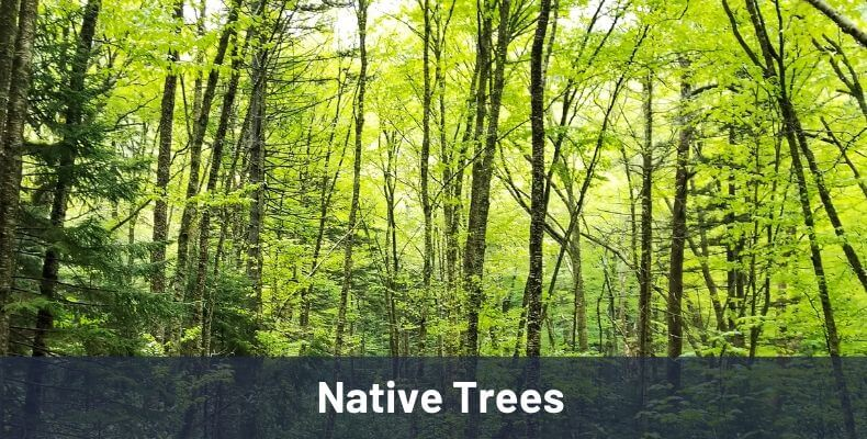 Native Trees Link Image