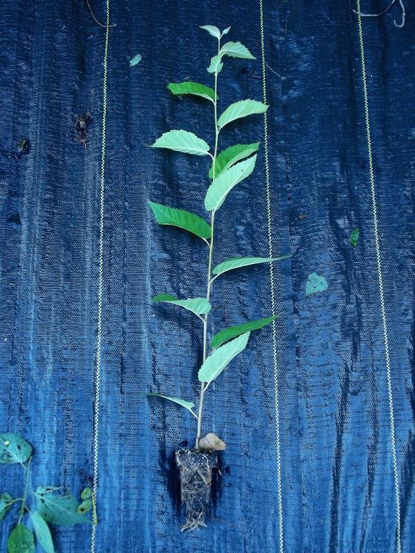 yellow-birch-rootmaker-liner.jpg