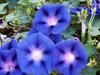Morning Glory 'Royal Ensign' (Ipomoea Purpurea) Flower Plant Heirloom, 20 Seeds