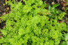 Carrot Sprouting Microgreen (Daucus Carota) Heirloom, 5g (0.17oz) Seeds