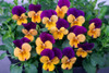 PansyTufted  'Sorbet Orange Jump' (Viola Cornuta) Flower Plant Heirloom, 20 Seeds