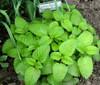 Melissa 'Lemon Balm' (Melissa Officinalis L.) Herbal Plant Heirloom,1600-2000 Seeds