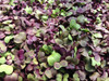 Microgreen Mix Seeds, 5g