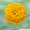 Zinnia 'Canary Bird' (Zinnia Elegans Dahlienflora) Flower Heirloom, 1g of  Seeds