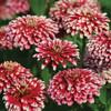 Zinnia 'Mazurkia' (Zinnia Elegans Dahlienflora) Flower Heirloom, 20  Seeds