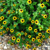 Zinnia Creeping 'Orange' (Sanvitalia procumbens Lam.) Flower Heirloom, 20  Seeds