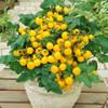 Cherry Tomato 'Balcony Yellow H' (Solanum Lycopersicum) Determinate Vegetable, 50-70 Seeds