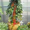 Cherry Tomato 'Charmant H' (Lycopersicon Esculentum) Indeterminate Vegetable Hybrid, 50-60 Seeds