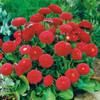 Daisy English 'Radar' (Bellis Perennis L.) Flower Heirloom, 1200 Seeds