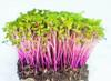Red Cabbage (Brassica Oleracea L.) Organic Microgreen Seeds, 30g