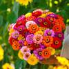Zinnia 'California Giants' (Zinnia Elegans Dahlienflora) Flower Heirloom, 45-55 Seeds