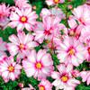 Garden Cosmos 'Cariola' (Cosmos Bipinnatus) Flower Heirloom, 20 Seeds