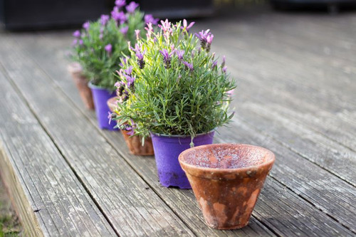 Growing Lavender in Tropics