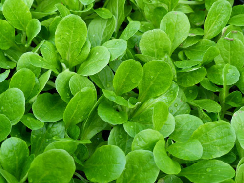 Benefits of growing Baby Lettuce
