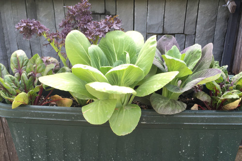 Growing Salad Greens in Window Boxes