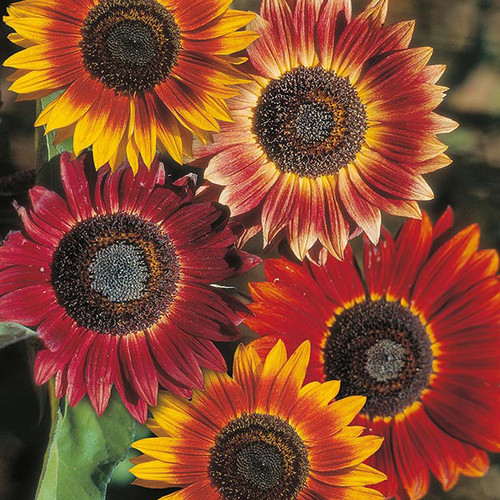 Flower Garden: Symbolic Sunflower Meaning